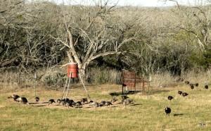 Photo of wild turkeys