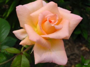 Photo of a rose bloom. Beauty!