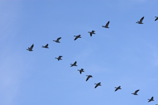 Photo of formation of geese flying, illustrating way of the goose.