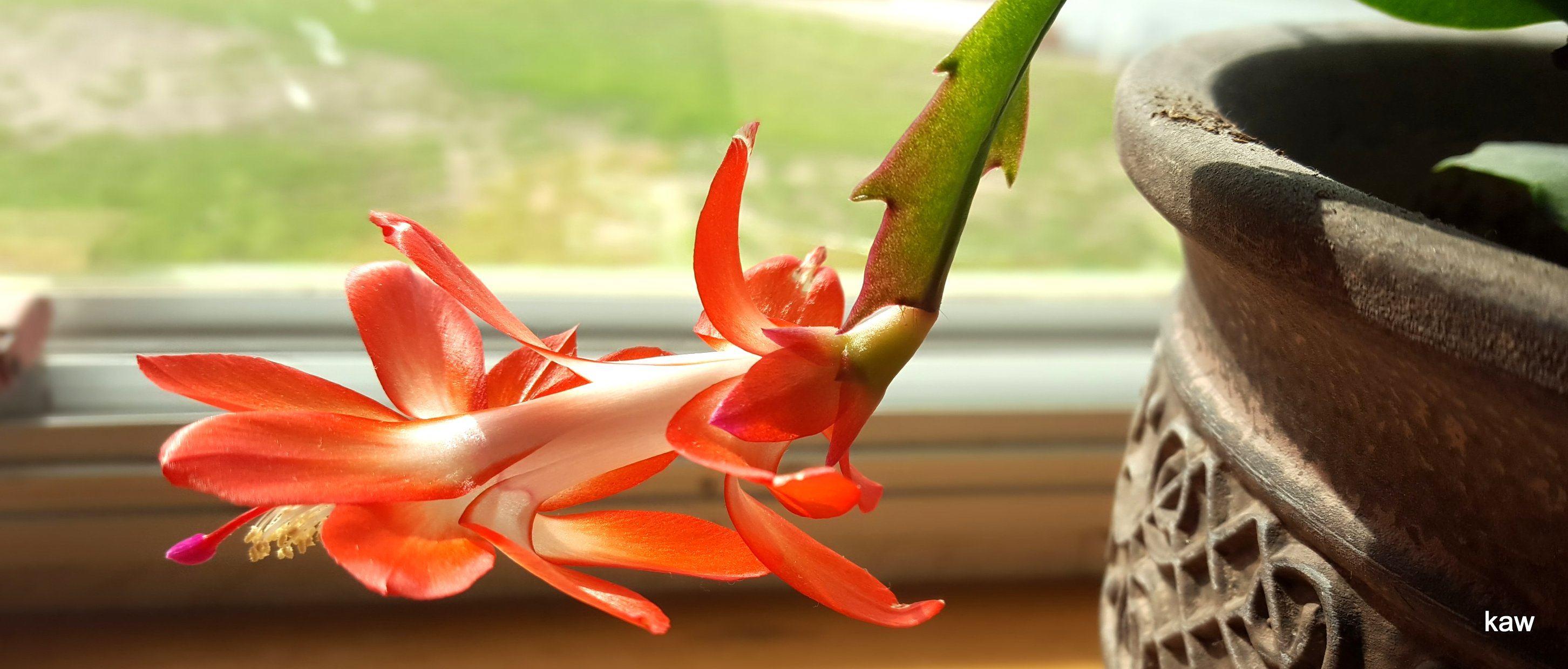 Photo of Christmas cactus